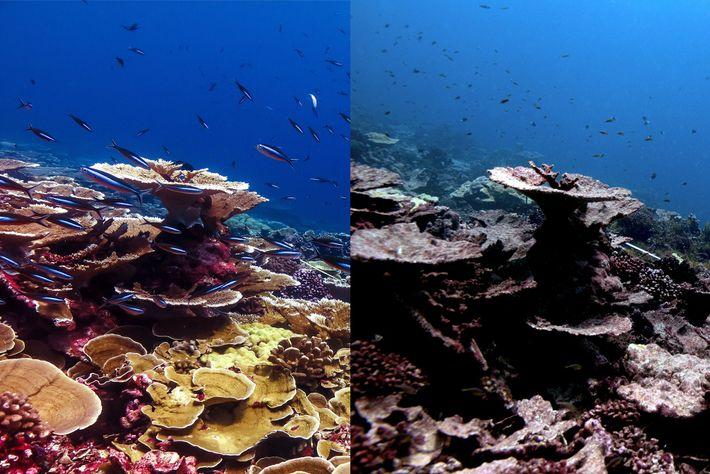 Eine Kolonie von Acroporen bei der Weihnachtsinsel in Kiribati vor und nach dem Ausbleichungsereignis, das sich ...