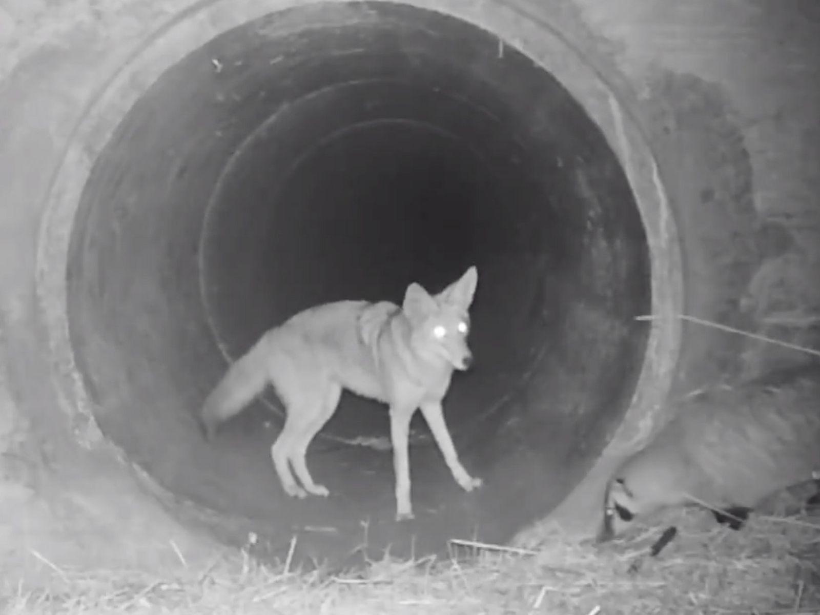Ein Kojote wartet darauf, dass ein Dachs ihm durch einen Abzugskanal in den südlichen Santa Cruz ...