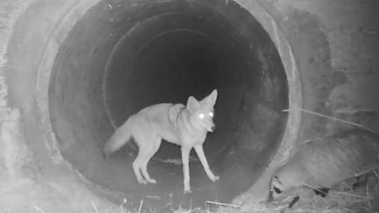 Raubtier-Freundschaft: Dachs und Kojote jagen gemeinsam