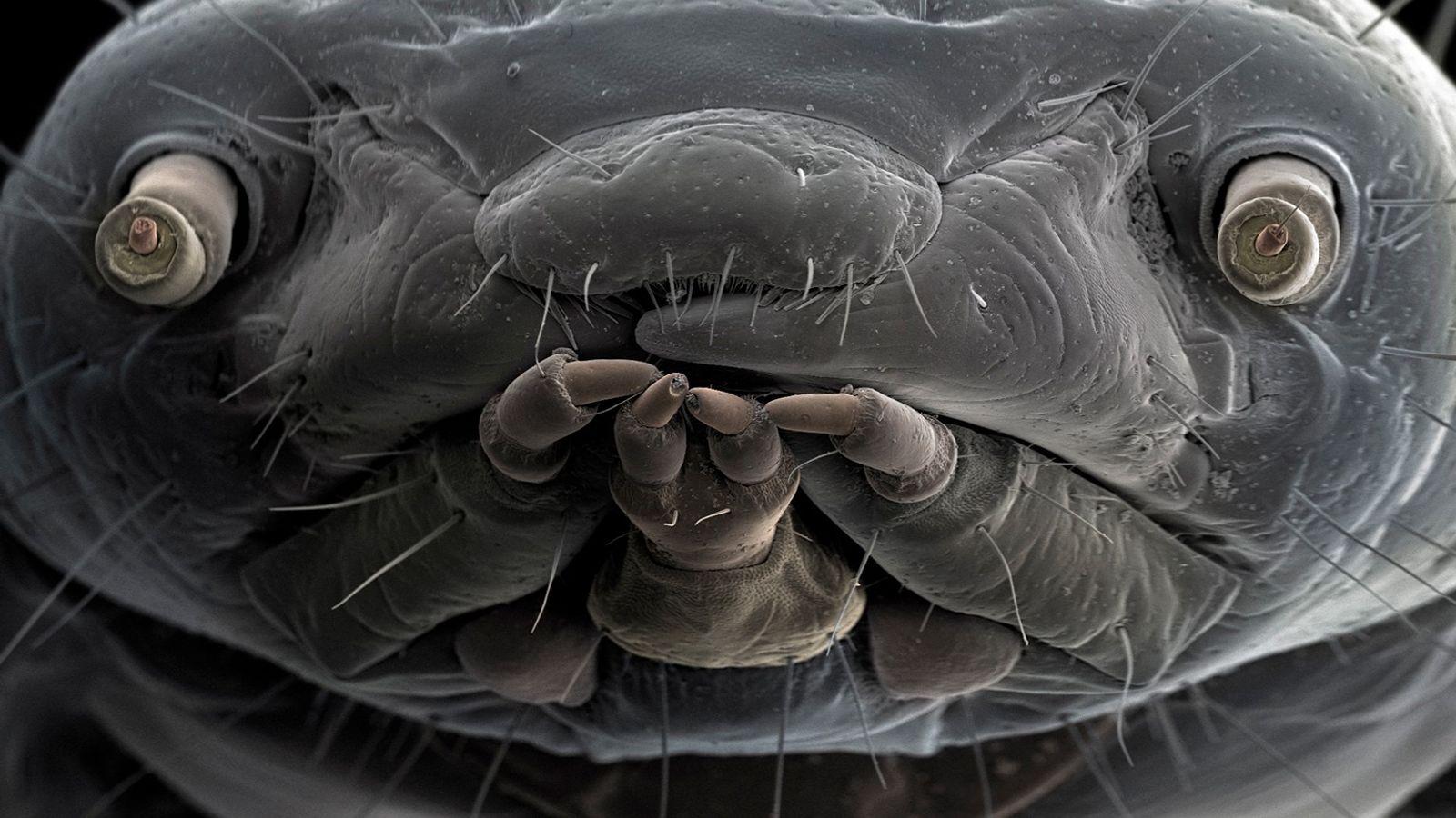 Mehlwurm