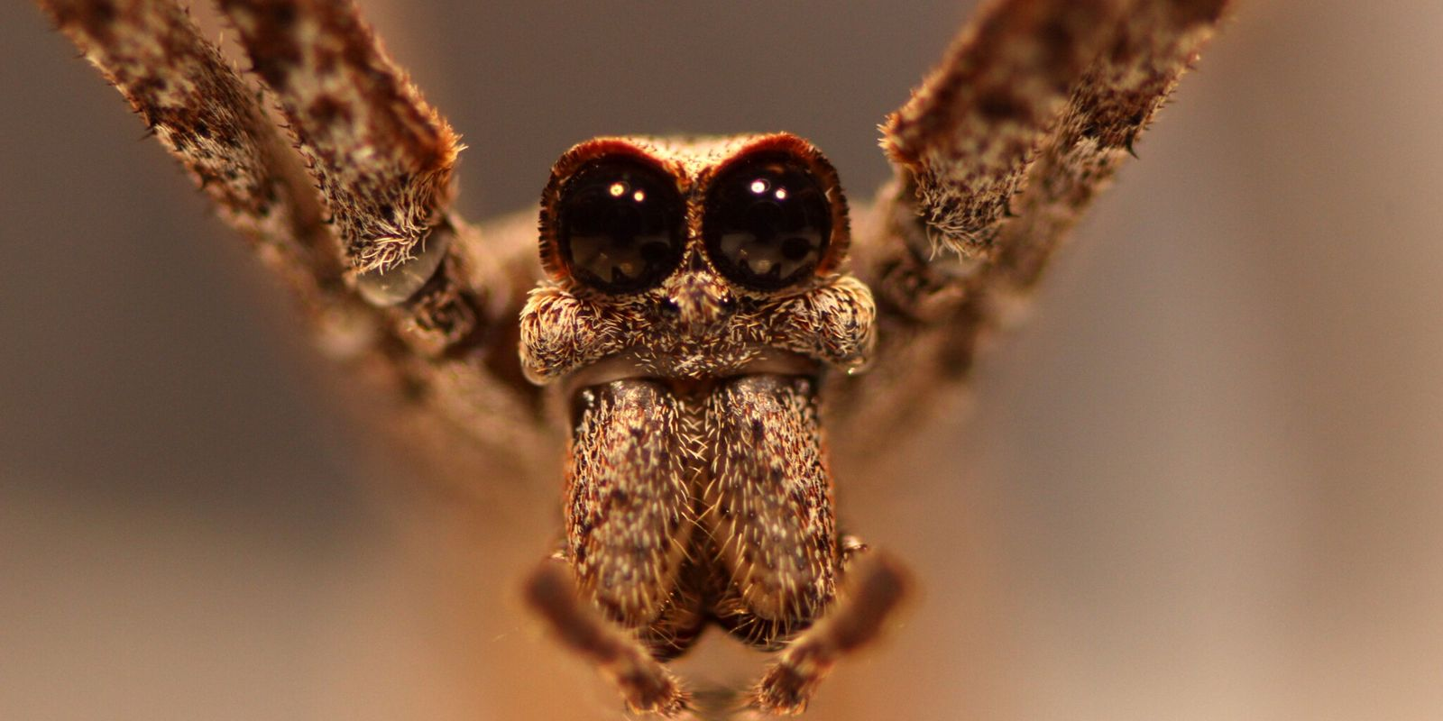 Hören ohne Ohren - ganz normal für diese Spinnen