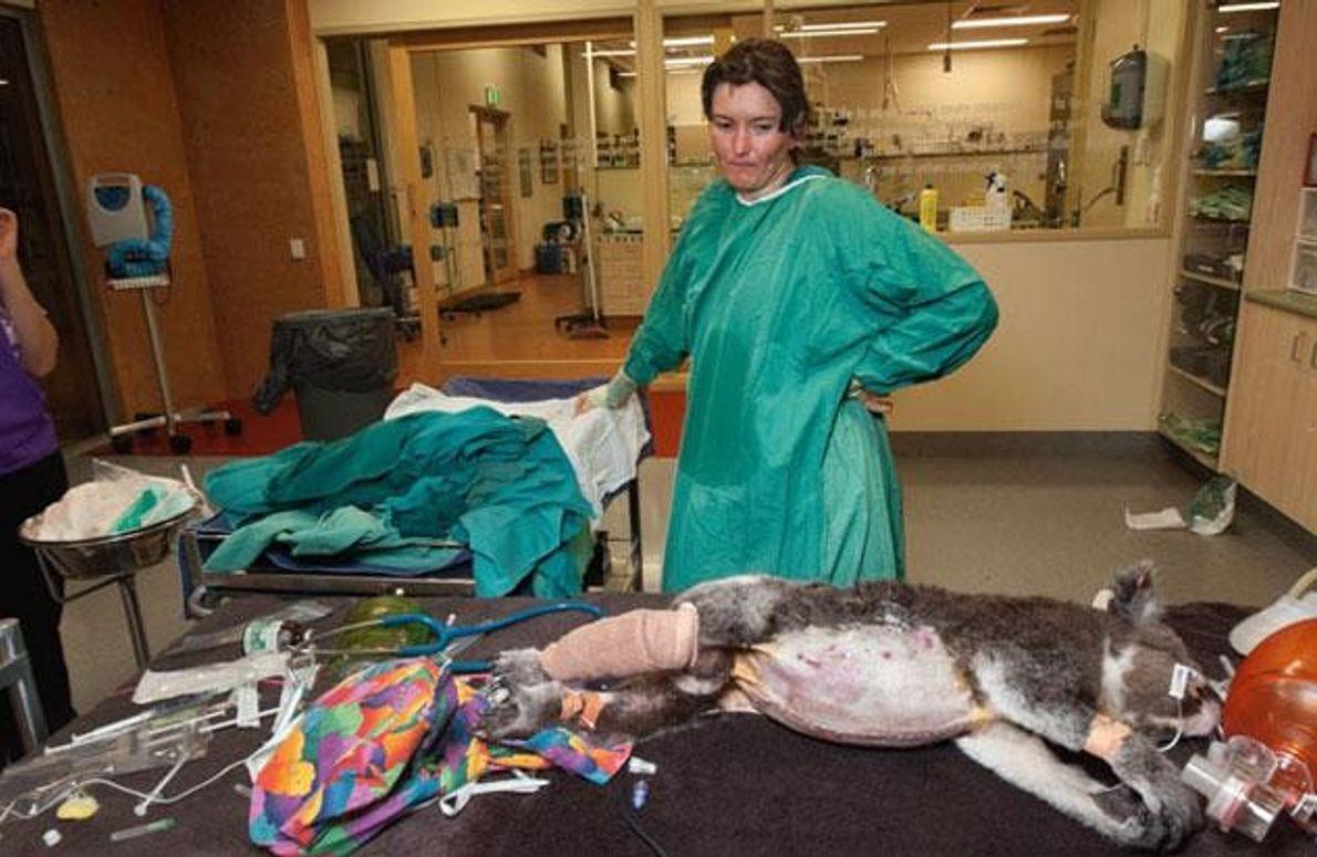 Operation eines Koalas