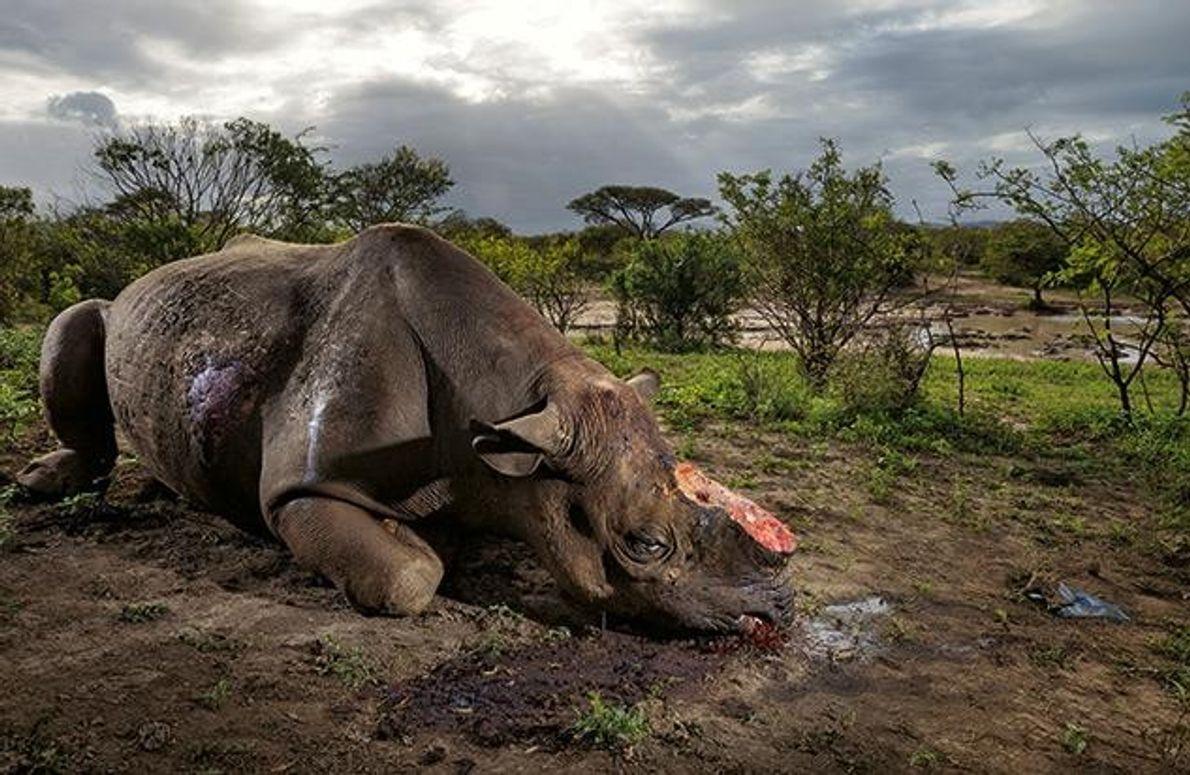 An einer Wasserstelle im Hluhluwe-Imfolozi-Park in Südafrika liegt ein totes Spitzmaulnashorn. Wilderer erschossen das Tier mit …