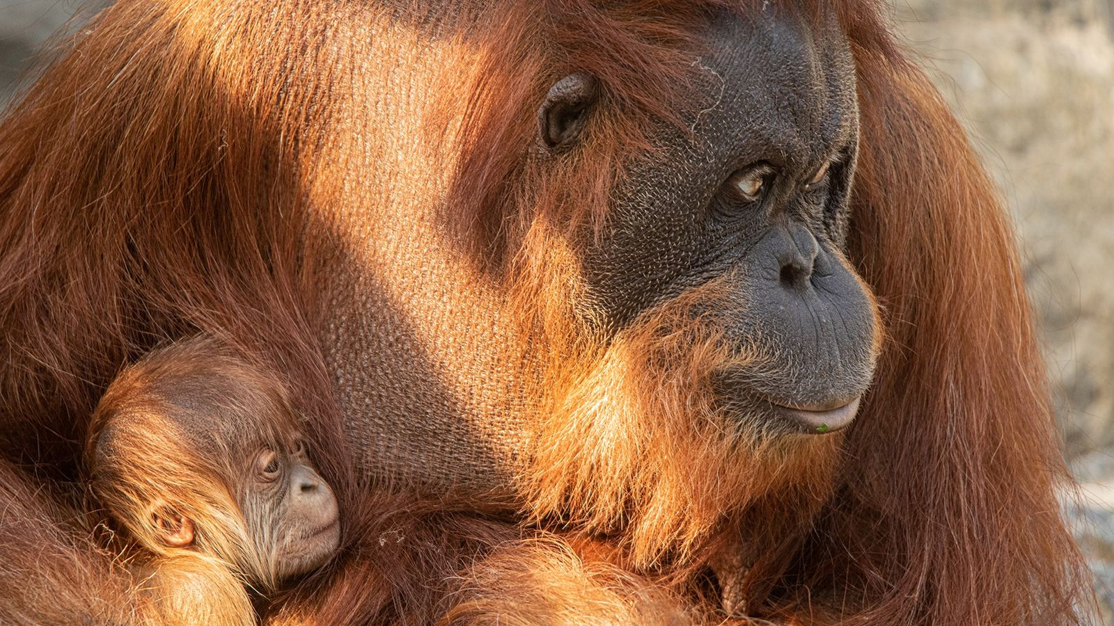 Orang-Utan-Nachwuchs im Tierpark Hagenbeck: Mutter Taba hat am 24. Mai 2020 einen Sohn zur Welt gebracht. ...