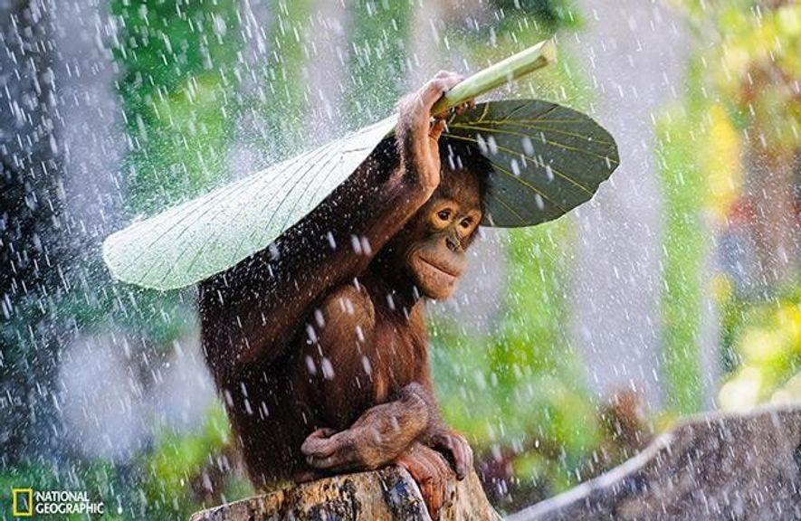 Lobende Erwähnung: Als ich auf Bali einige Orang-Utans fotografierte, begann es plötzlich zu regnen. Gerade als ...