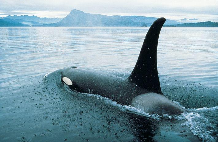 Ein Schwertwal bricht vor der Küste von Vancouver Island durch die Wasseroberfläche.