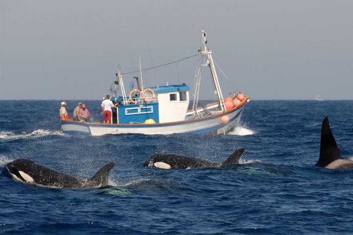 Orcas vor einem Fischerboot