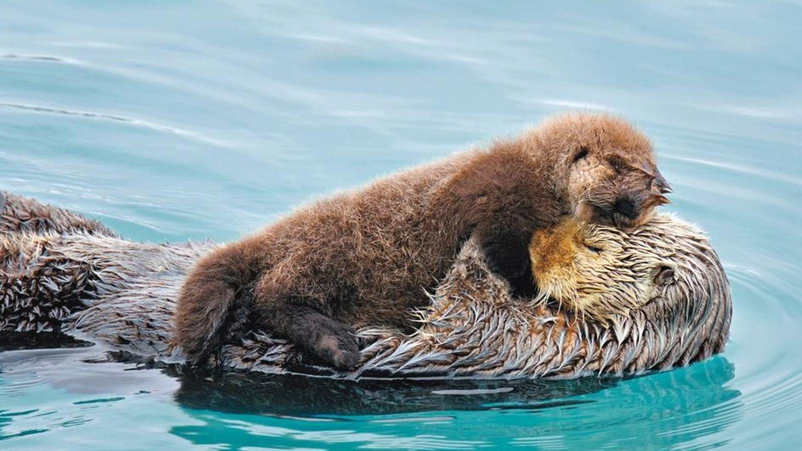 OTTERLIEBE Vor ihrem Jagdausflug an der Küste Kaliforniens versteckt diese Ottermutter ihr Junges im Seetang, damit es ...