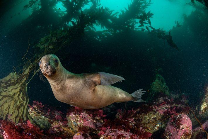 Eine Mähnenrobbe schwimmt vor der Isla de los Estados im argentinischen Teil des Archipels Tierra del ...