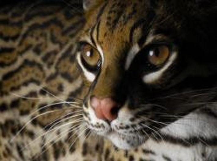 Wild leben Ozelots in den USA nur noch in Texas. Einige dieser scheuen Raubkatzen streifen durch ...