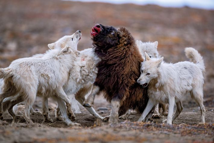 Ein junger Moschusochse konnte sich den Angriffen der Wölfe für 20 Minuten erwehren, bevor sie ihn ...