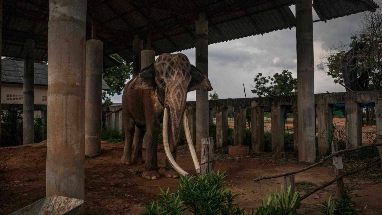 Thong Bai, der Chang Beer-Werbespot-Star, ist einer von einigen hundert in Gefangenschaft gehaltenen Elefanten, die im ...