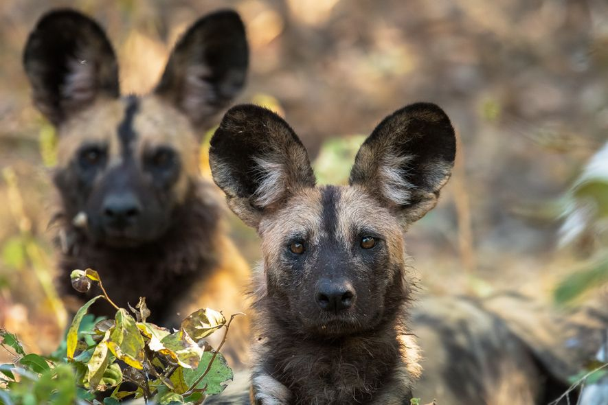 Im Gegensatz zu unseren Haushunden ist das Gehör das wichtigste Sinnesorgan der Wildhunde. Wenn sie voneinander ...