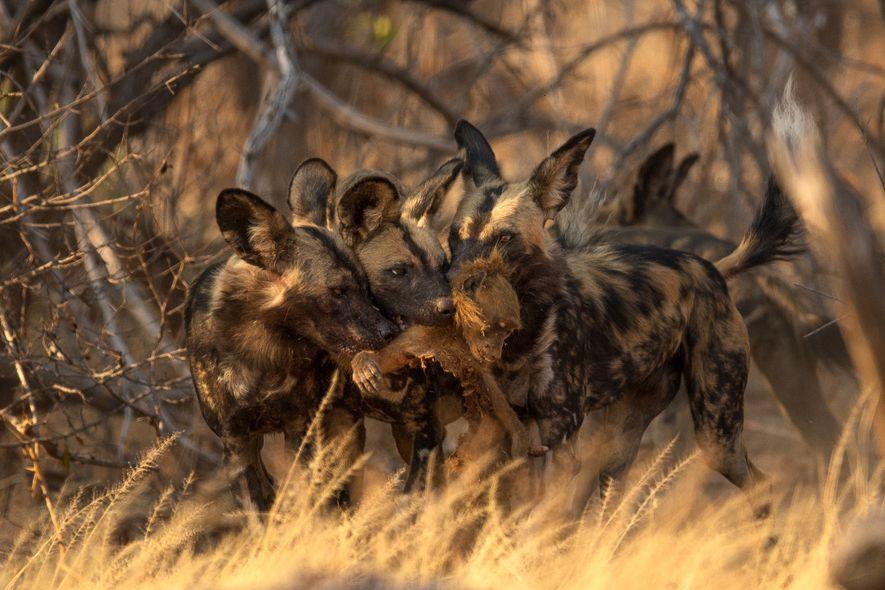 Drei Afrikanische Wildhunde teilen sich die Beute des morgendlichen Streifzugs.