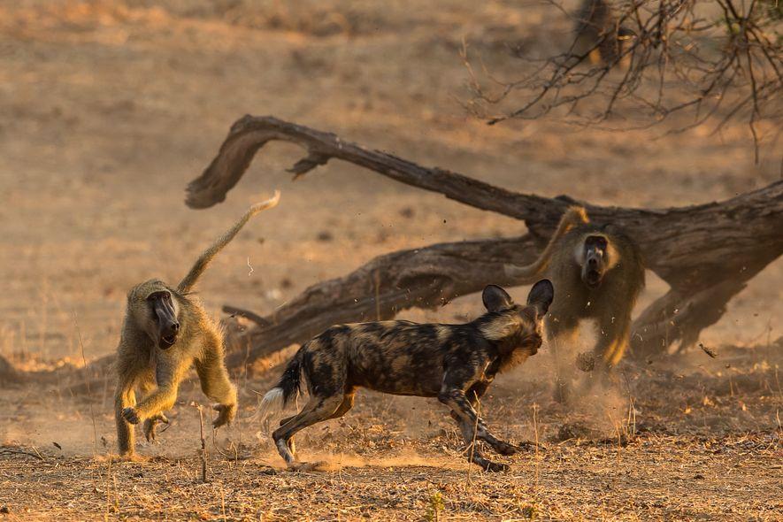 Am Anfang waren die Paviane überrascht, als die Afrikanischen Wildhunde anfingen, sie zu jagen. Langsam lernen ...
