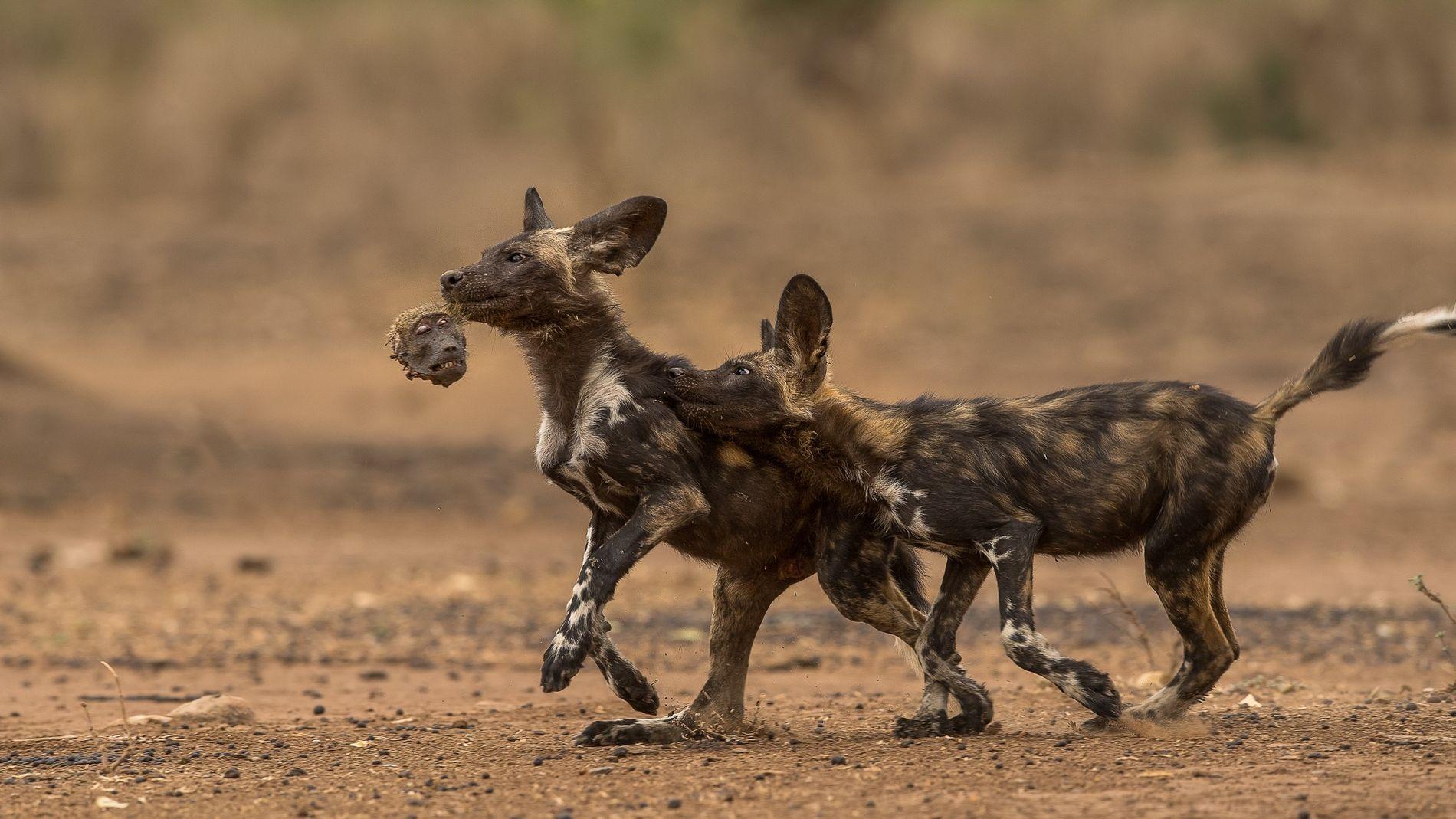 Afrikanische Wildhundjungen