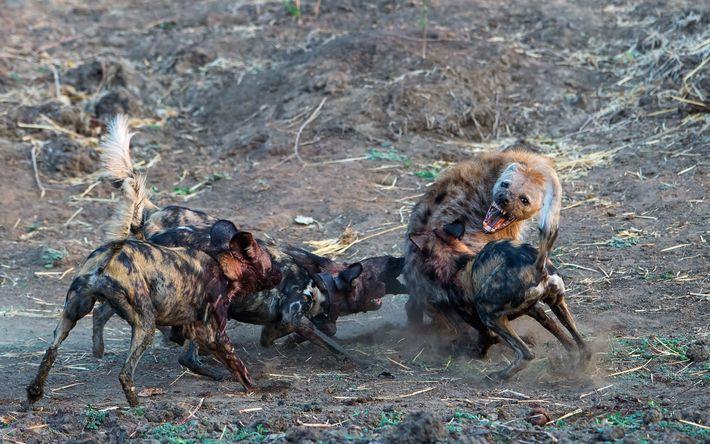 Afrikanische Wildhunde werden von Hyänen angegriffen