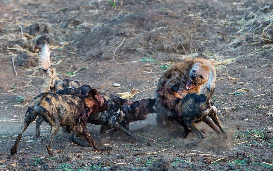 Afrikanische Wildhunde werden oft von Hyänen angegriffen, die versuchen, die Jungtiere zu töten oder den Wildhunden ...