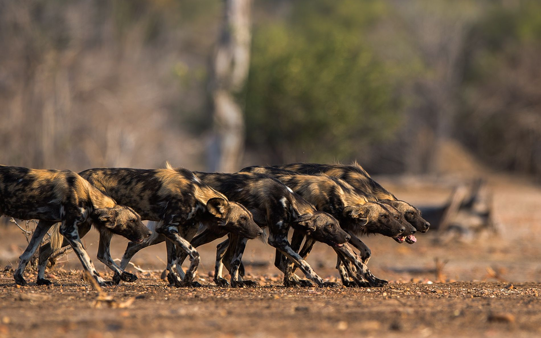 Geduckt, mit geradem Rücken und voll konzentriert gehen Afrikanische Wildhunde in den Jagdmodus.