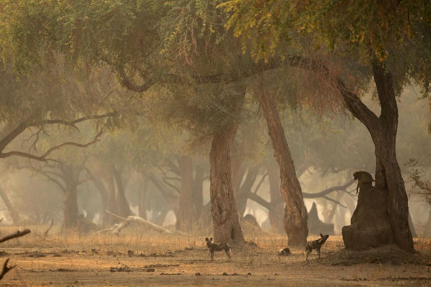 Wenn sie von Afrikanischen Wildhunden angegriffen werden, rennen Paviane instinktiv den schützenden Baum herunter. Manche haben ...