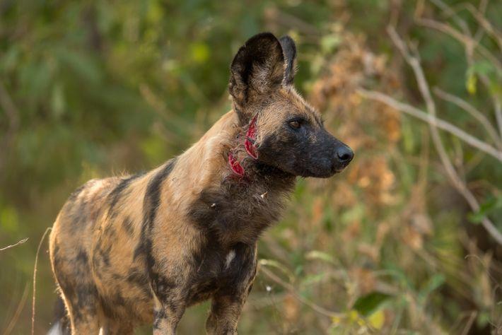 Afrikanischer Wildhund verletzt