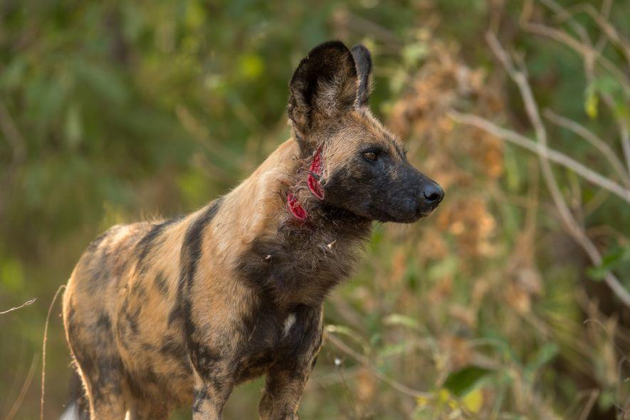 Weil die Paviane lernen, sich zu verteidigen, müssen die Afrikanischen Wildhunde mehr einstecken.