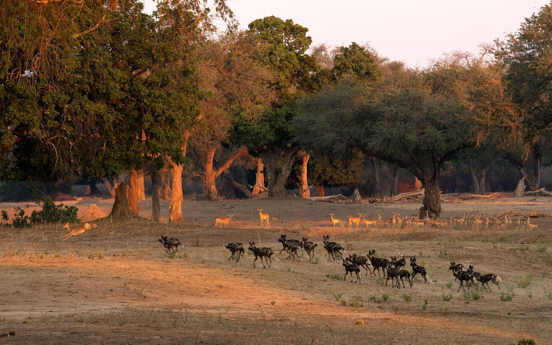Die Afrikanischen Wildhunde beobachten ihre Beute erst eine Zeit lang und gehen dann zum Angriff über. ...