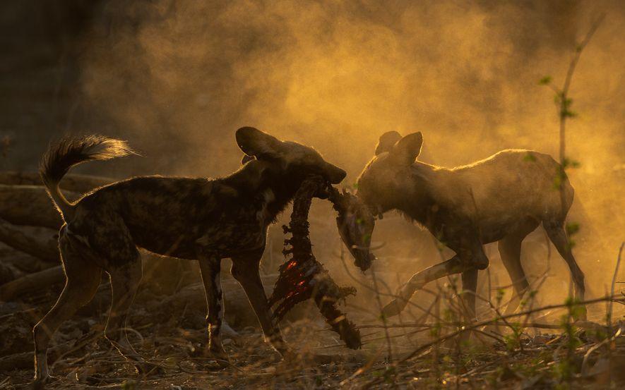 Afrikanische Wildhunde kümmern sich um die Schwachen und Kranken. Hier teilt einer einen Kadaver mit seinem ...