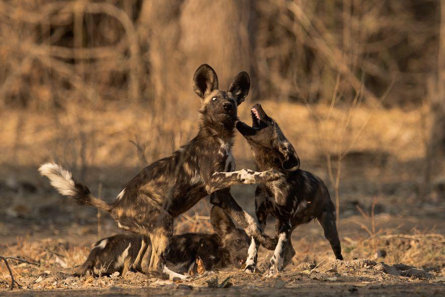 Beim Spiel merkt eine Afrikanische Wildhündin, dass ihr Bruder größer geworden ist – und seine Zähne ...