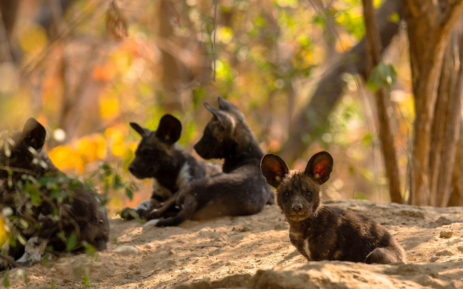 Nach ungefähr einem Monat verwandeln sich die Ohren der afrikanischen Wildhunde in die charakteristischen Micky-Maus-Ohren.