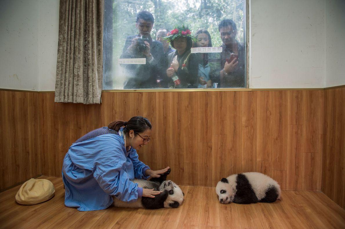 Die Pflegerin Liu Jan spielt in Bifengxia mit zwei Pandajungen. Touristen beobachten das Ganze durch die …