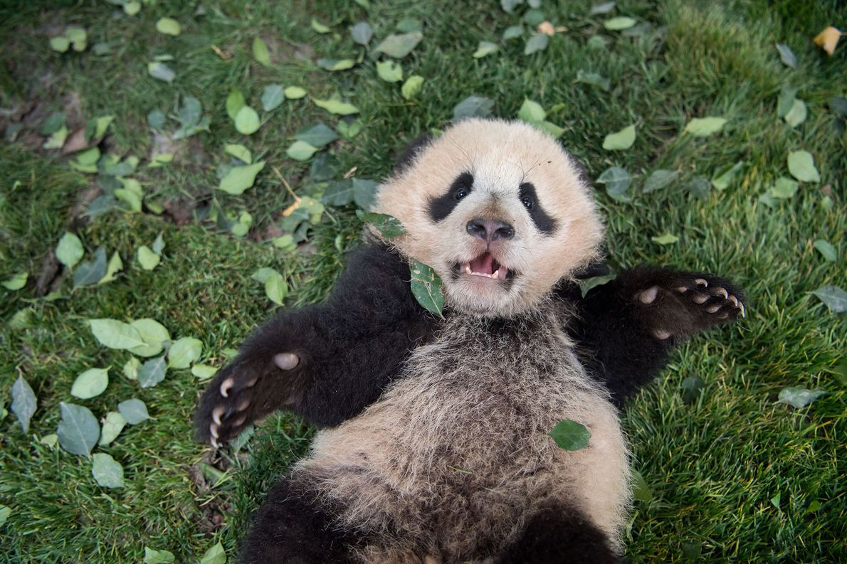 Ein Riesenpanda-Jungtier, das sich in der Zucht- und Forschungseinrichtung Bifengxia in der Provinz Sichuan, China, genüsslich …