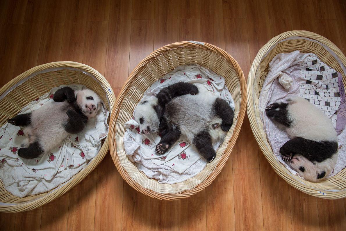 3 Monate alte Jungtiere, die in der Panda-Aufzuchtstation in Bifengxia ein Nickerchen halten. Bringt eine Pandamutter ...