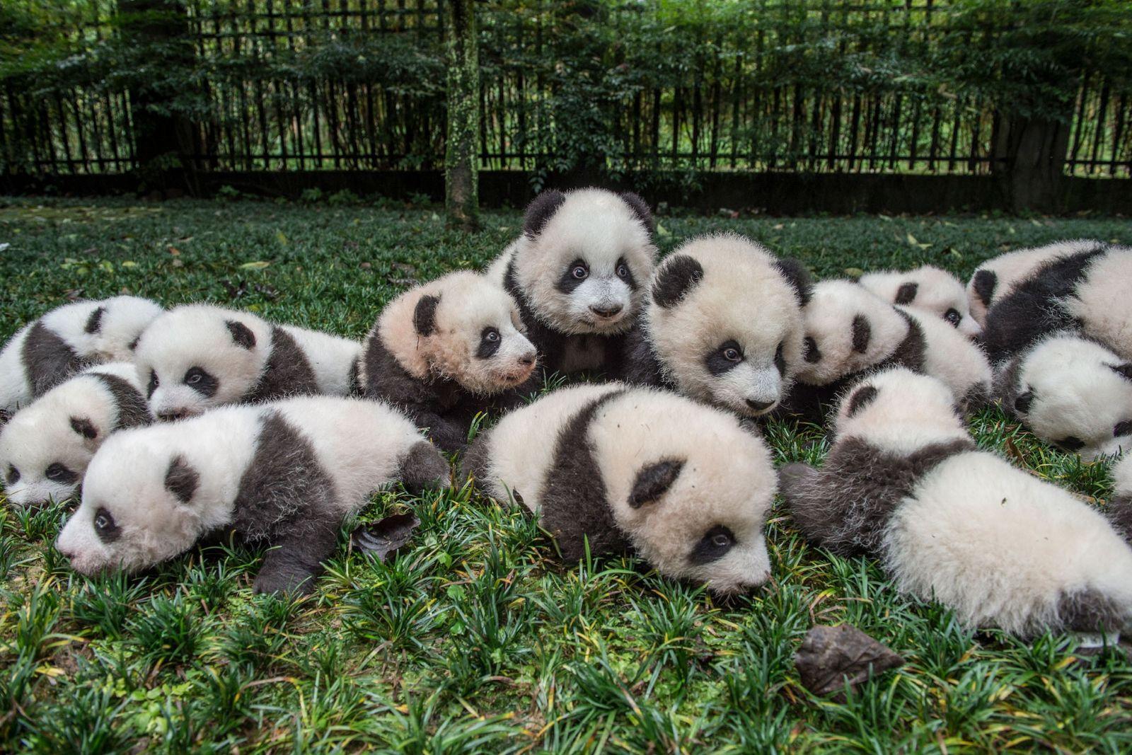 Eine Gruppe von Riesenpanda-Jungtieren, die in der Zucht- und Forschungseinrichtung Bifengxia in der Provinz Sichuan, China, ...