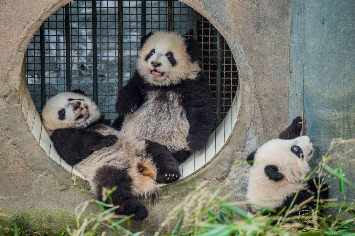Drei Pandajungen, die in Bifengxia von der gleichen Mutter großgezogen werden. Ein Jungtier, das von seiner ...