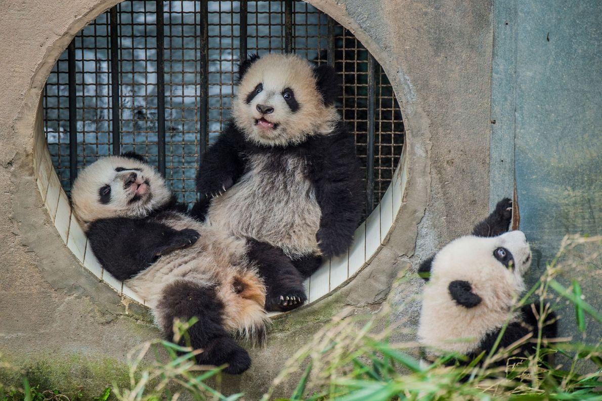 Drei Pandajungen, die in Bifengxia von der gleichen Mutter großgezogen werden. Ein Jungtier, das von seiner …