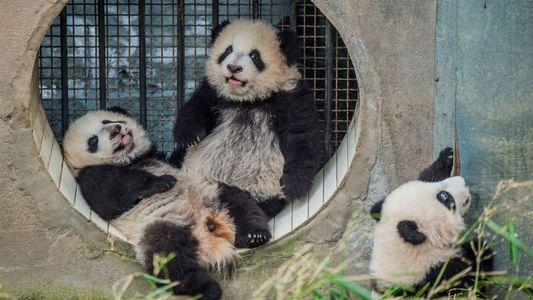 Galerie: Die Kunst, Pandas zu fotografieren
