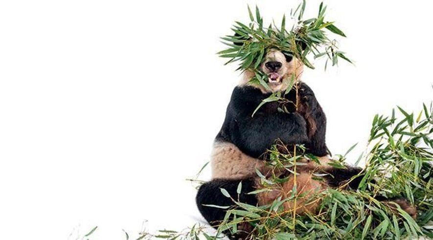 Paarungsverhalten: Sexmüde Pandabären