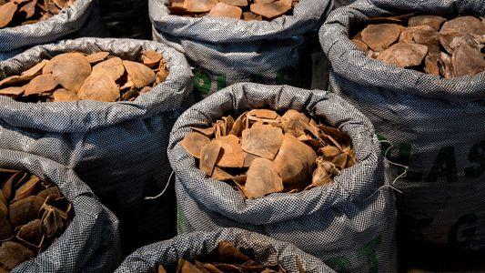 Schmuggel mit Pangolinschuppen boomte 2019 wie nie zuvor