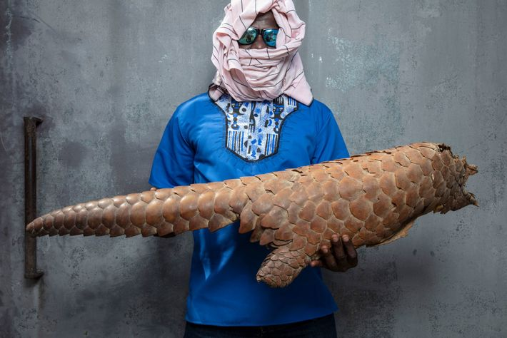 Exoskelett eines beschlagnahmten Riesenschuppentiers