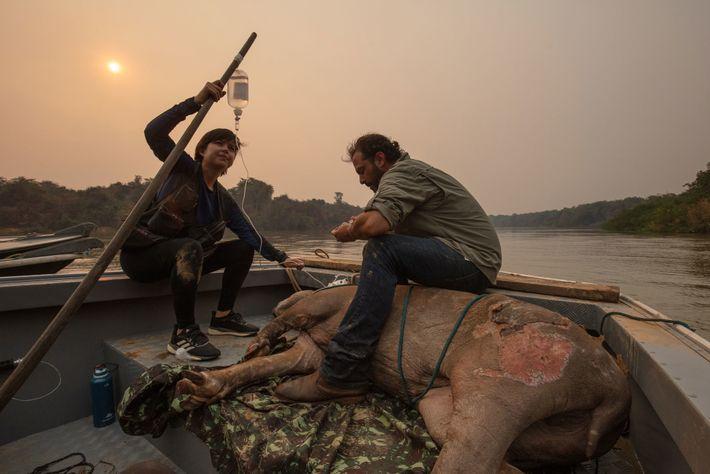 Die ehrenamtlichen Tierärzte Antônio Carlos Csermak Jr. und Amanda Yumi überwachen einen Flachlandtapir mit Verbrennungen. Das ...