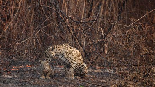 Feuer im Feuchtgebiet: Erste Hilfe für die Tiere im Pantanal