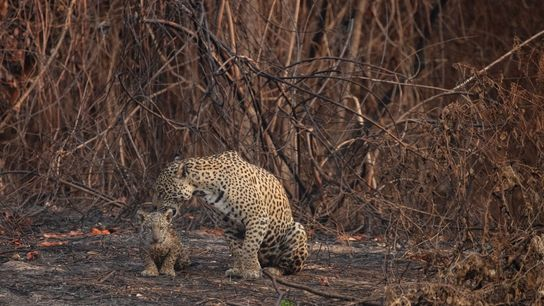Eine Jaguarmutter und ihr Junges sitzen inmitten der verkohlten Vegetation des Encontro das Águas State Park. ...