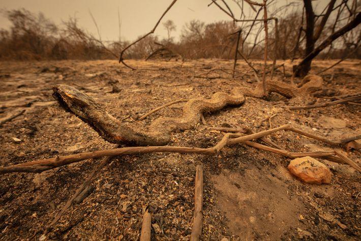 Eine Schlange, die bei dem Brand starb, liegt neben einer Straße im nördlichen Pantanal.