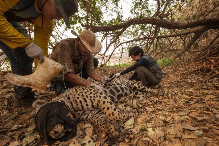 Ein Team von freiwilligen Tierärzten fängt einen verletzten Jaguar bei den Waldbränden in der Nähe von ...