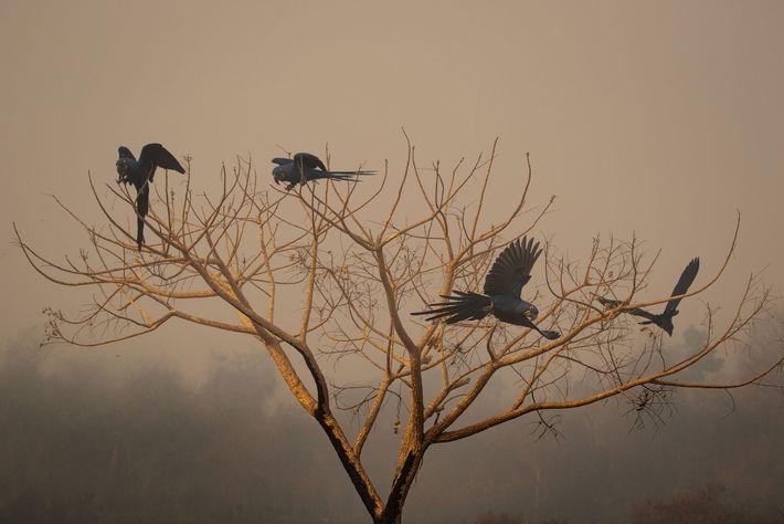 Eine Gruppe von Hyazinth-Aras sitzt auf einem Baum, der in den Flammen im brasilianischen Pantanal verbrannt ...