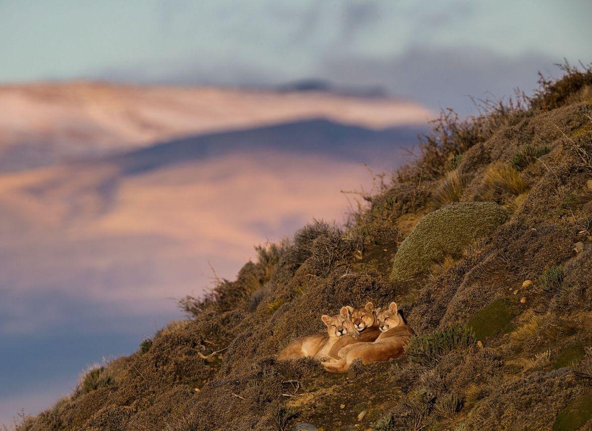 Nadelkissensträucher und Felssplitter stören das Pumaweibchen Sarmiento (in der Mitte) nicht, ebenso wenig wie ihre 11 ...