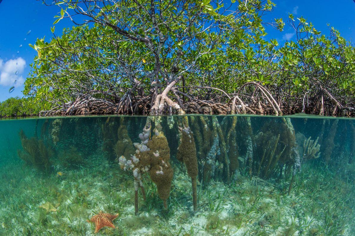 Foto von roten Mangroven beim Pelican Beach, South Water Caye, Belize