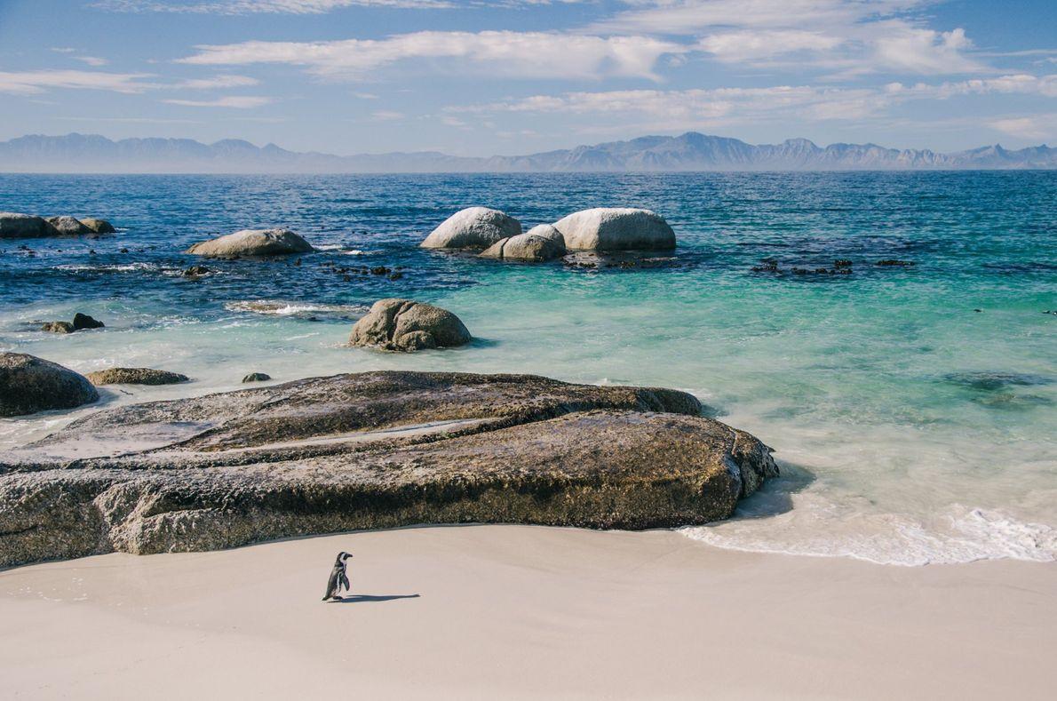 Ein Brillenpinguin macht einen Spaziergang am Boulder Beach auf der südafrikanischen Kap-Halbinsel. An dem Strand gibt ...