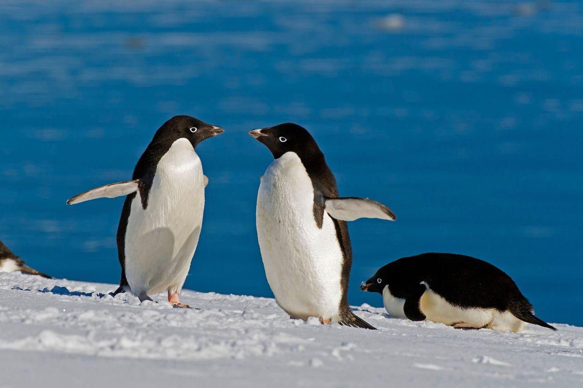 Pinguine fressen unerwartete Beute